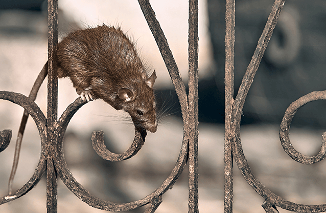 New York: Chuột to bằng thỏ hoành hành, tung tăng trên đường phố và công viên trong Lễ Tạ ơn