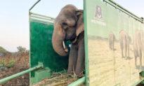 Chú voi ăn xin suốt 40 năm với chuỗi dây xích gai buộc quanh chân cuối cùng đã được tự do