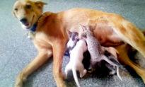 Chó mẹ 'nhận nuôi' 5 chú mèo con sau khi mẹ của chúng mất tích