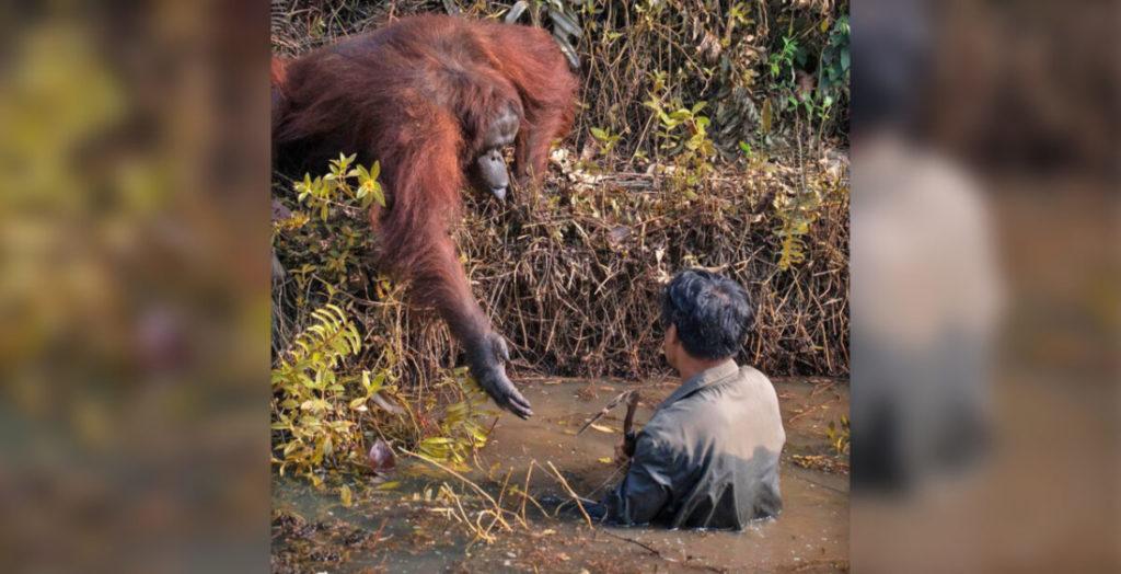 Khoảnh khắc ấm lòng khi một con đười ươi chìa tay giúp một người bảo vệ ra khỏi sông