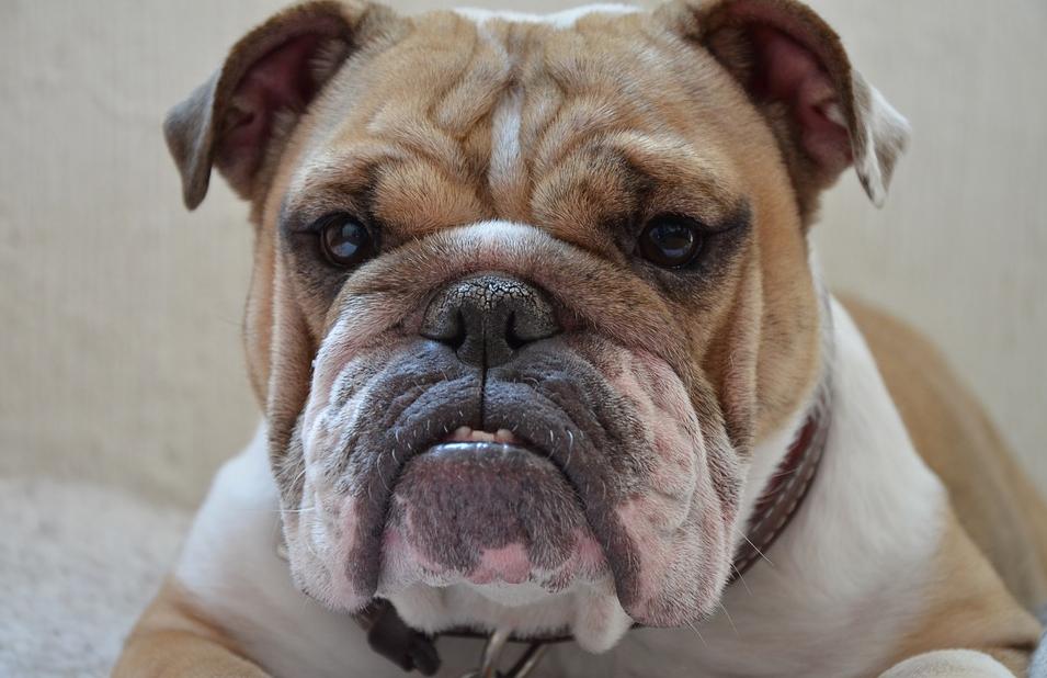 Nghiên cứu: Tìm thấy liên kết giữa bệnh nhân tiểu đường và chó