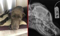 Trúng 70 viên đạn chì trong cơ thể, chú chó hồi phục nhờ sự chăm sóc của hiệp hội nhân đạo