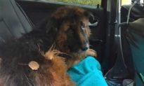 Bị chủ tiêm thuốc độc và chôn sống, chú chó đội mồ sống dậy và may mắn được người tốt giúp đỡ