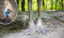 'Loài chim nguy hiểm nhất thế giới' có móng vuốt to dài được ví với khủng long