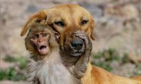 Chó mẹ 'nhận nuôi' khỉ con 10 ngày tuổi mồ côi sau khi bố mẹ của nó bị đầu độc