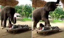 Con voi dùng mũi và chân trước để xoa bóp cho người