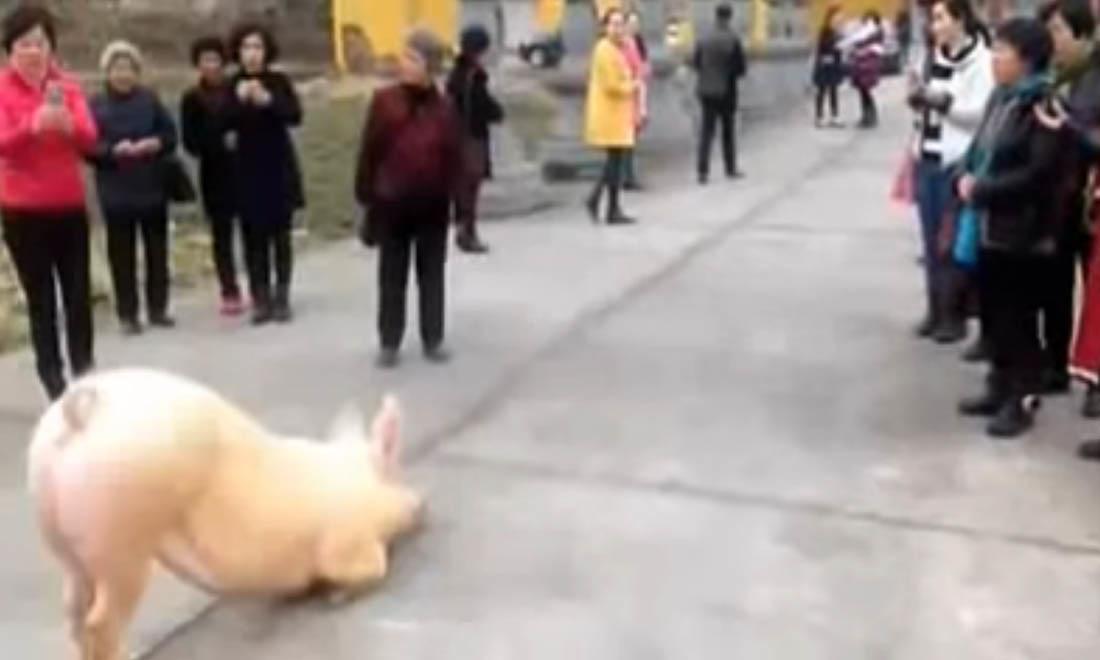 Lợn có ký ức về tiền kiếp: Một niệm ác vừa sinh, bị đọa làm thân heo