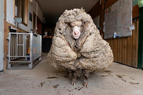 Giải cứu cừu hoang Úc mang trên mình 'áo khoác' lông nặng 35 kg