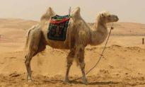 Liệu bướu của lạc đà có dùng để đựng nước như nhiều người nói không?