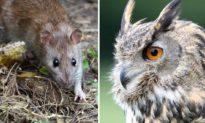 Khỏi dùng thuốc diệt độc hại và ô nhiễm, nông dân Nhật Bản chuyển sang nuôi cú để bắt chuột đồng