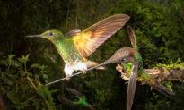 Nhiếp ảnh gia chụp được khoảnh khắc 'duy nhất trong đời': chim ruồi quý hiếm 'đậu' trên mỏ một con chim khác