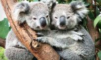 Khoảnh khắc siêu đáng yêu của những chú Koala tại Công viên Bò sát Úc