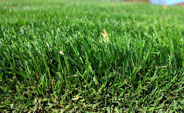 Sang năm, cỏ dại mọc tốt um tùm, người nông dân hoàn toàn không cách nào trồng hoa màu được.