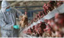 Cúm gia cầm mới H5N8 lần đầu tiên ghi nhận trên người