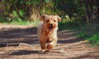 Chú chó đi bộ 3 km mỗi ngày để đến thăm mộ người bạn thân nhất của mình