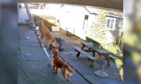 Chú chó trở nên nổi tiếng trên mạng nhờ màn trình diễn trèo lên mái nhà