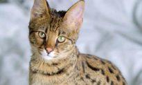 Cặp vợ chồng tưởng mua được mèo cưng, nuôi một tuần mới tá hỏa là hổ hiếm