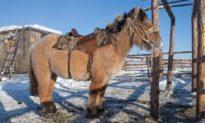 Thấp lùn nhưng 'có võ', những chú ngựa béo Bắc Cực này có thể chịu được cái lạnh khắc nghiệt -70 °C