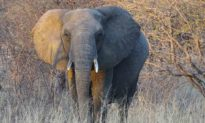 Chú voi gây bất ngờ khi gặp lại ân nhân sau 12 năm