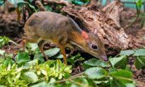 Loài hươu nhỏ nhất thế giới trông giống chuột - chỉ nặng hơn 1 kg