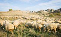 Hiện tượng bí ẩn: Bầy cừu xếp hàng thành những vòng tròn kỳ lạ trên cánh đồng Anh