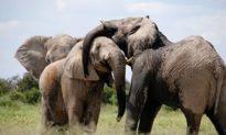 Quả báo? Nghi phạm săn trộm tê giác ở Nam Phi bị đàn voi giẫm chết