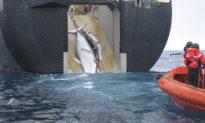 Bất chấp quốc tế chỉ trích, mùa săn cá voi thương mại của Nhật Bản chính thức khởi động