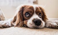 Tại sao mũi của chó lại lạnh?