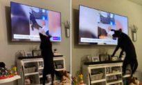 Chó đen sung sướng nhảy cẫng hơn 20 lần khi thấy mình trên TV