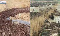 Nông dân Thái Lan mượn vịt để diệt sạch sâu bọ trên đồng lúa