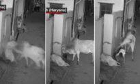 Ấn Độ (video): Cụ bà bị bò điên húc văng xuống đất, cháu trai dũng cảm lao tới giải cứu