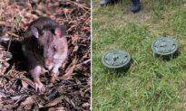 Đánh hơi và phát hiện được hàng chục quả mìn, chuột khổng lồ được trao huân chương dũng cảm