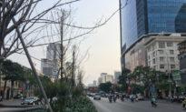 Hà Nội: Sẽ thay thế hàng cây phong lá đỏ sau 3 năm trồng thử nghiệm