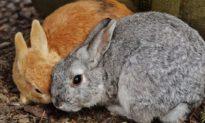 Bác sĩ tiêm virus vào hai con thỏ, không ngờ 90% thỏ cả nước đã chết