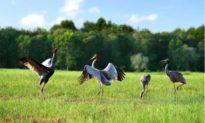 Sếu đầu đỏ bay về Vườn Quốc gia Tràm Chim sau hơn một năm vắng bóng