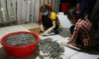 Hà Nội: Bắt quả tang cơ sở bơm tạp chất vào tôm