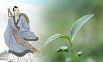 Trà 'Thần Tiên cứu mạng' của Trương Tam Phong trồng như thế nào?