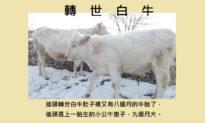 Bí ẩn: Bò trắng báo ân và cậu bé Ấn Độ chuyển sinh năm lần