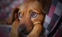 Chú chó chết đói trong hộp quà gửi qua đường bưu điện ở Trung Quốc