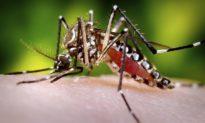 Bill Gates muốn thả 144.000 con muỗi biến đổi gen ra môi trường - Người dân Mỹ sợ thành 'chuột thí nghiệm'