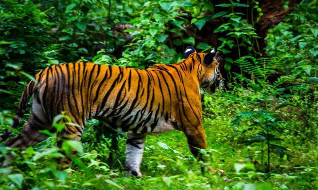 Cặp vợ chồng Ấn Độ mua 35 mẫu đất cho hổ hoang dã