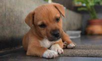 Chú chó nổi tiếng trên mạng nhờ chiếc đuôi 'mọc ngược' trước trán