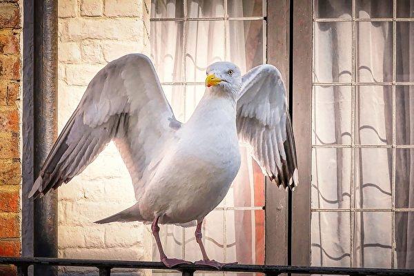 Chim mòng biển làm 'đồng hồ báo thức' lúc 5 giờ mỗi sáng cho gia đình người Anh