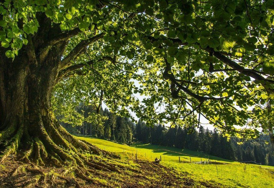 Liệu pháp trị bệnh kỳ diệu dưới gốc cây Bồ đề