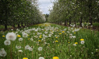 'Cộng sinh' giữa cây trồng và cỏ cho trái ngon hơn, lại không cần dùng thuốc diệt cỏ
