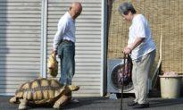 Thú cưng 'khổng lồ': Tình bạn 25 năm giữa ông lão người Nhật và chú rùa 70 kg