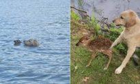 Chú chó tốt bụng cứu nai con đuối nước, hôm sau nai quay lại 'cảm ơn' rồi cùng mẹ rời đi (Radio)