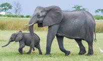 Voi mẹ sinh con, đàn voi kéo đến 'nồng nhiệt' chúc mừng