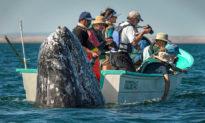Trong khi du khách đang 'canh chừng', cá voi tinh nghịch đã 'lén lút' xuất hiện... bên cạnh thuyền