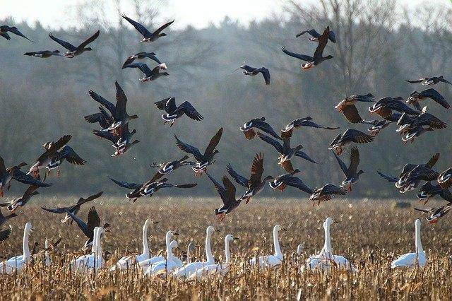 Trung Quốc: H5N8 bùng phát ở Thiểm Tây, 4.249 con chim hoang dã chết